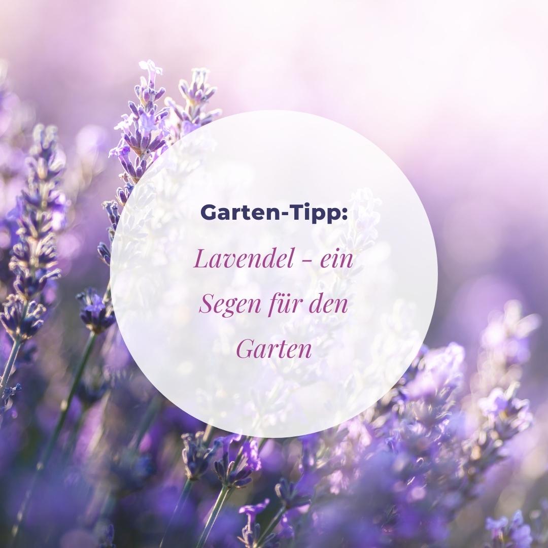 Warum Lavendel ein Segen für den Garten ist